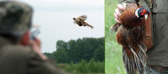 Как правильно прикормить фазана